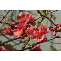 Japánbirs vagy díszbirs / Chaenomeles japonica 'Etna' ❁