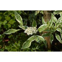 Fehértarka fehér som / Cornus alba 'Elegantissima' ❁