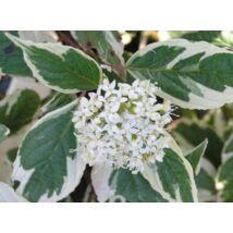 Tarkalevelű fehér som / Cornus alba 'Sibirica Variegata' ❁