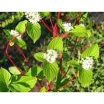 Szibériai fehér som / Cornus alba 'Sibirica' ❁