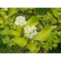 Fehér som / Cornus alba Sp. ❁