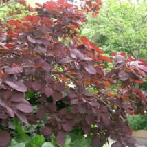 Bíbor cserszömörce / Cotinus coggygria 'Royal Purple' ❁