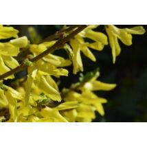 Minigold kerti aranycserje / Forsythia x intermedia 'Minigold' ❁