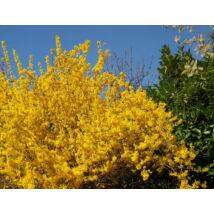 Kerti aranycserje virágzásban