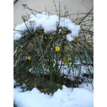 Téli jázmin / Jasminum nudiflorum