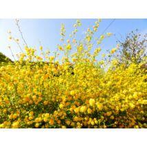 Boglárkacserje / Kerria japonica ❁
