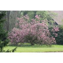 Susan liliomfa (cserjetermetű) / Magnolia 'Susan' ❁