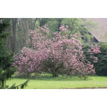 Susan liliomfa (cserjetermetű) / Magnolia 'Susan' - 100-125