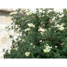 Cserjés pimpó virágzás