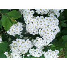 Kerti gyöngyvessző / Spiraea x vanhouttei ❁