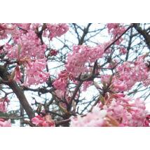 Kikeleti bangita / Viburnum x bodnantense 'Dawn' ❁