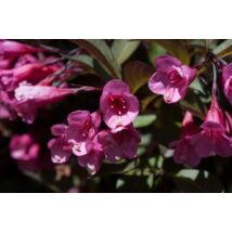 Bordó levelű Alexandra rózsalonc / Weigela florida 'Alexandra' ❁