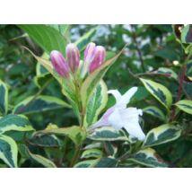 Tarkalevelű rózsalonc / Weigela florida 'Variegata' ❁