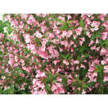 Kínai rózsalonc / Weigela florida ❁