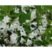 Candida fehér virágú rózsalonc / Weigela hybrida 'Candida' ❁