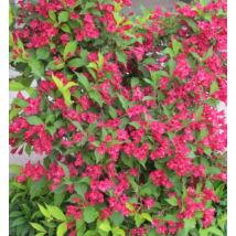 Eva Rathke rózsalonc / Weigela hybrida 'Eva Rathke' ❁