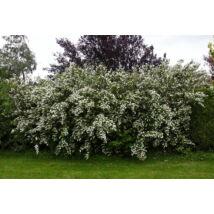 Érdeslevelű gyöngyvirágcserje / Deutzia scabra ❁