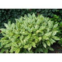 Tarkalevelű japán babérsom / Aucuba japonica 'Variegata' ✽