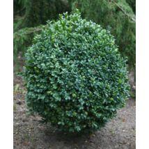 Faulkner bukszus (Faulkner puszpáng) / Buxus microphylla 'Faulkner' - 30-40