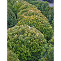 Rococo kislevelű bukszus (Rococo kislevelű  puszpáng) / Buxus microphylla 'Rococo' - 60-80