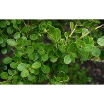 Kislevelű bukszus (kislevelű  puszpáng)  / Buxus microphylla ✽