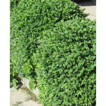 Bukszus (örökzöld puszpáng) / Buxus sempervirens - 40-60