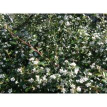Skogholm kúszómadárbirs / Cotoneaster dammeri 'Skogholm' ✽