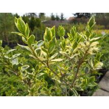 Ezüsttarka télizöld vagy széleslevelű fagyal / Ligustrum ovalifolium 'Argenteomarginatum' ✽