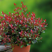Little Red Robin törpe korallberkenye / Photinia x fraseri 'Little Red Robin' ✽