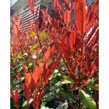 Kerti korallberkenye / Photinia x fraseri 'Red Robin' ✽