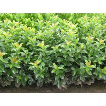 Baumgartner babérmeggy / Prunus laurocerasus 'Baumgartner' ✽