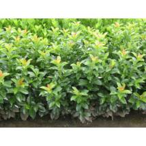 Baumgartner babérmeggy / Prunus laurocerasus 'Baumgartner' - 40-60