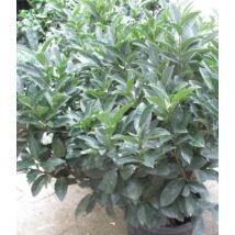 Cippora babérmeggy / Prunus laurocerasus 'Cippora' ✽