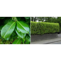 Magnólialevelű babérmeggy / Prunus laurocerasus 'Magnoliifolia' - 80-100