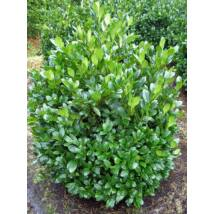 Mano babérmeggy / Prunus laurocerasus 'Mano' ✽