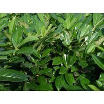 Novita babérmeggy / Prunus laurocerasus 'Novita' ✽