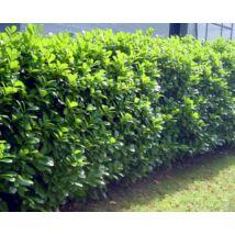 Rotundifolia babérmeggy / Prunus laurocerasus 'Rotundifolia' - 80-100