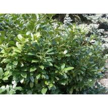 Sipka babérmeggy / Prunus laurocerasus 'Schipkaensis' ✽