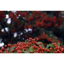 Kasan tűztövis / Pyracantha coccinea 'Kasan' - 40-60