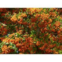 Tűztövis / Pyracantha coccinea - 30-40