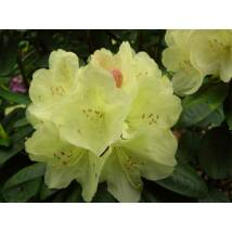 Havasszépe / Rhododendron | sárga - Ehrengold - 30-40