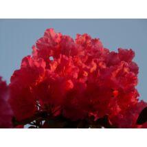 Havasszépe / Rhododendron   piros - Markeeta's Price - 40-50