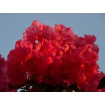 Havasszépe / Rhododendron   piros - Markeeta's Price - 30-40