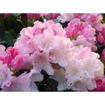 Havasszépe / Rhododendron   púder rózsaszín - Dreamland - 40-50