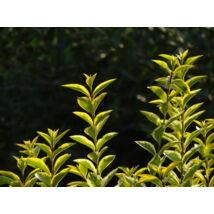 Aranytarka télizöld vagy széleslevelű fagyal / Ligustrum ovalifolium 'Aureum' ✽
