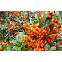 Orange Glow tűztövis / Pyracantha coccinea 'Orange Glow' - 30-40