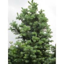 Kolorádófenyő / Abies concolor - 100-125