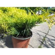 Armstrong Gold kínai boróka / Juniperus chinensis 'Armstrong Gold' ✷