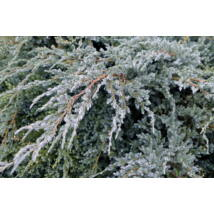 Blue Carpet nepáli kúszóboróka / Juniperus squamata 'Blue Carpet' ✷