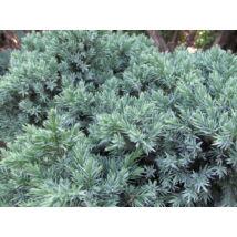 Blue Star nepáli törpe boróka / Juniperus squamata 'Blue Star' ✷